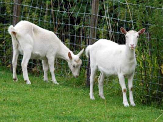 geiten-in-wei-dieren-pleeg-en-jeugdzorgboerderij-de-essenburg
