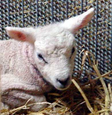 lam-dieren-pleeg-en-jeugdzorgboerderij-de-essenburg