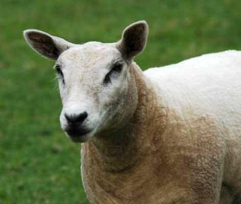 schaap-dieren-pleeg-en-jeugdzorgboerderij-de-essenburg