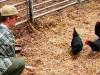 kip-dieren-pleeg-en-jeugdzorgboerderij-de-essenburg