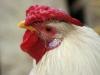 kip2-dieren-pleeg-en-jeugdzorgboerderij-de-essenburg